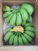 米蕉 八成熟