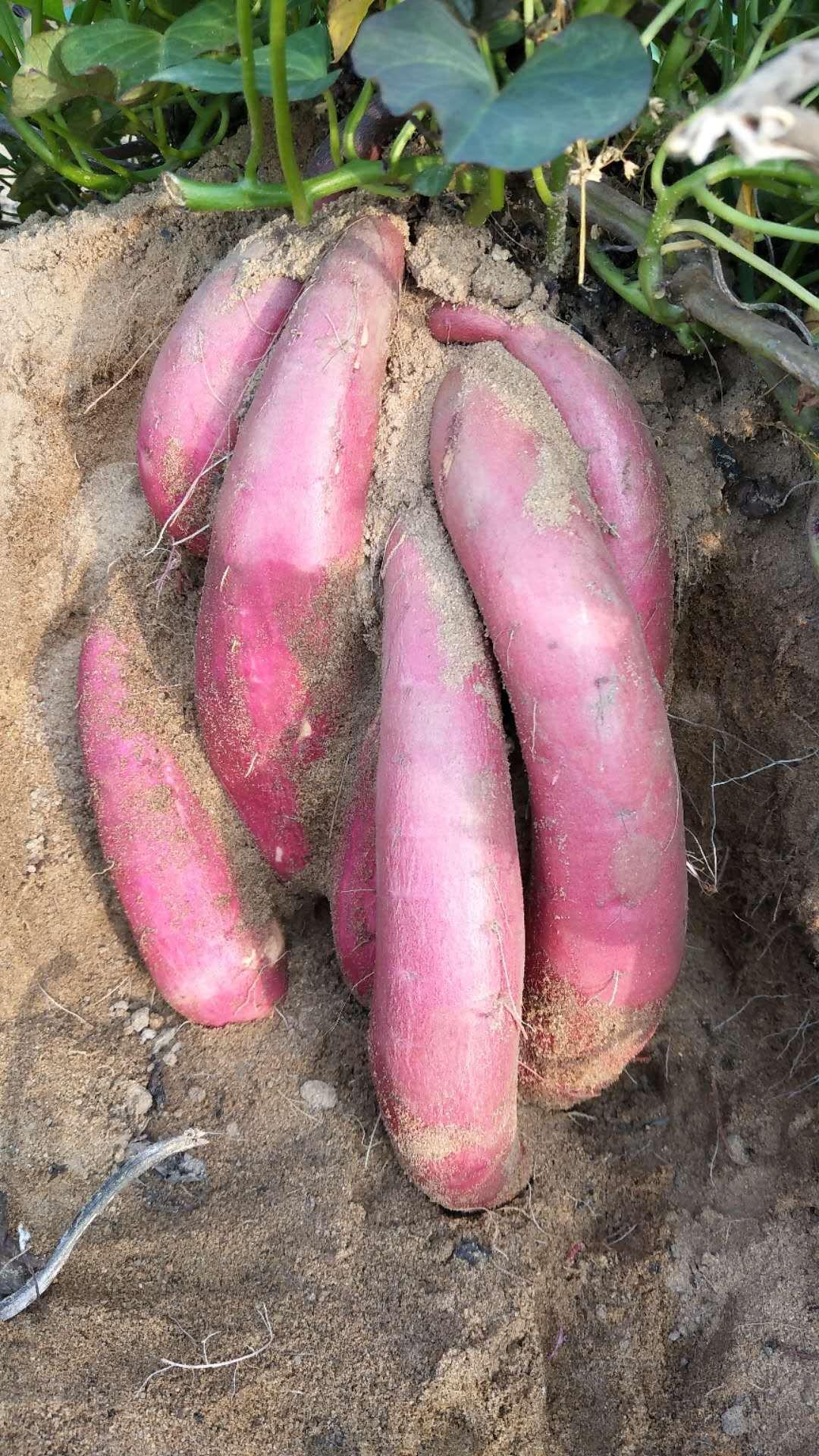 六鳌地瓜 六鳌蜜薯中果5斤装 一手货源~一件代发 微商电商