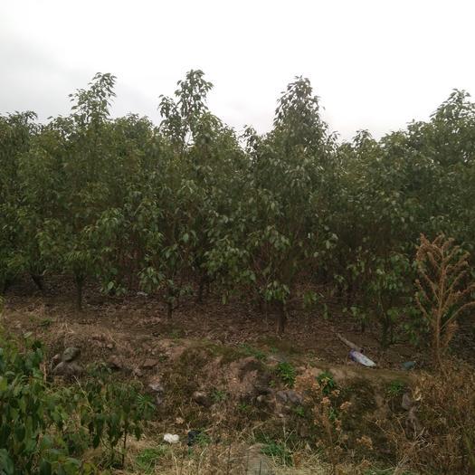 廣西壯族自治區桂林市灌陽縣樟腦