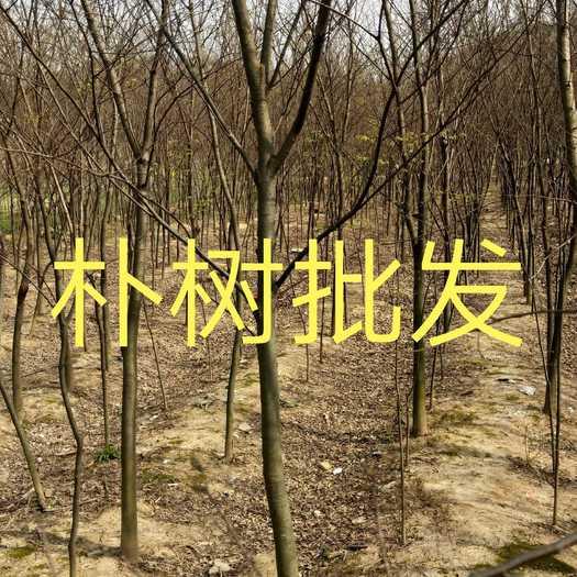 江西省九江市柴桑区 江西精品朴树基地批发1一30公分