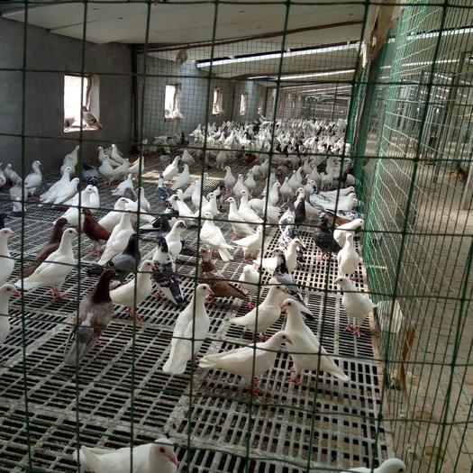 河北省邯郸市临漳县美国王鸽蛋 孵化 礼盒装