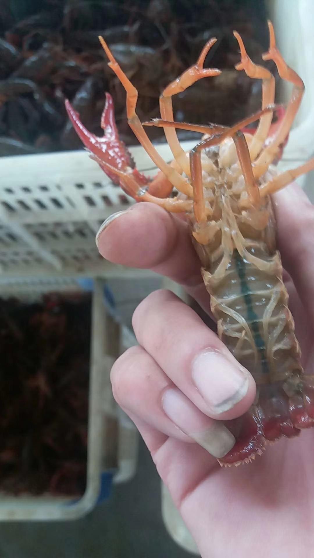 潜江小龙虾 中青456  硬规格肉质饱满,品质好