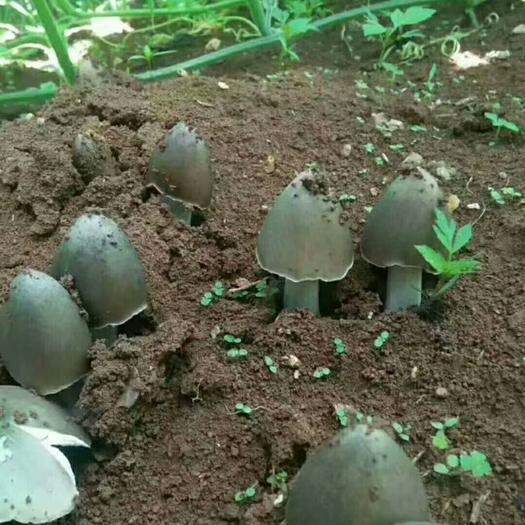 云南省大理白族自治州大理市大肥菇菌种