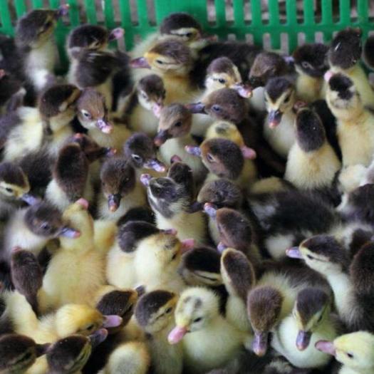 广西壮族自治区南宁市西乡塘区 西洋鸭の大种番鸭苗,公母混合苗