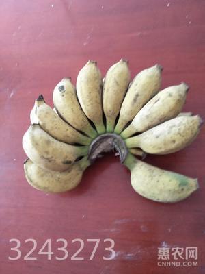 小米蕉 七成熟  約9.0斤/箱