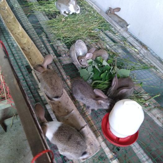 江西省上饒市余干縣比利時兔 1-3斤