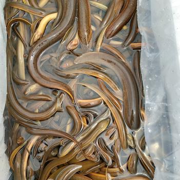 缅甸野生黄鳝和螺丝