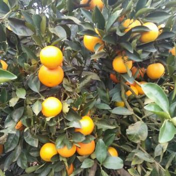 黔陽冰糖橙又叫冰糖柑