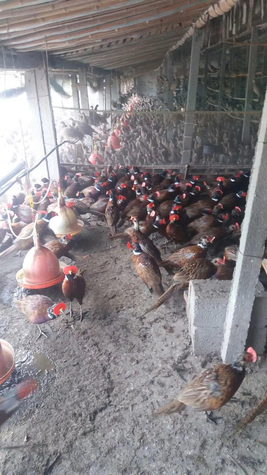 七彩山鸡2-3斤快递发货包邮包活到家