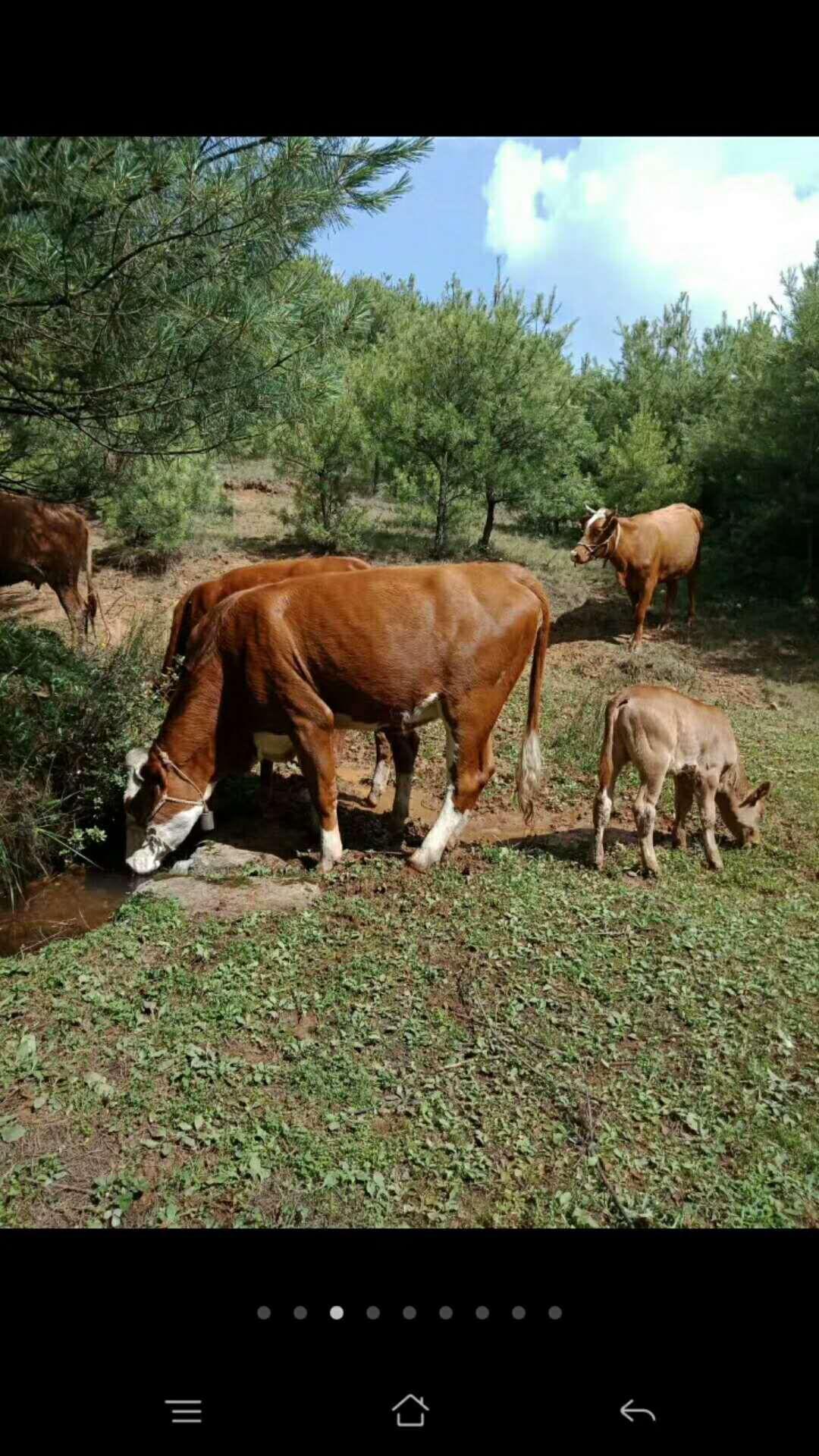 [牛肉类批发]牛肉类 生肉 价格45元/斤