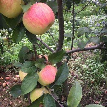 華丹蘋果 光果 條紅 70mm以上
