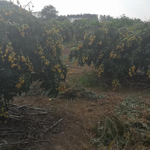 廣西壯族自治區南寧市江南區無核黃皮 球型