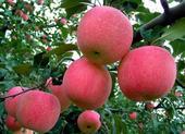 棲霞蘋果 脆甜多汁,可以帶皮吃,單果160g左右