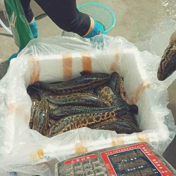 乌鳢 野生 1-1.5公斤