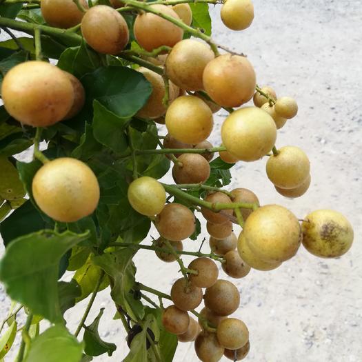 廣西壯族自治區桂林市平樂縣農家土黃皮 球型