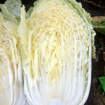 黄心大白菜 3~6斤 净菜