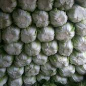青雜三號白菜 3~6斤 凈菜