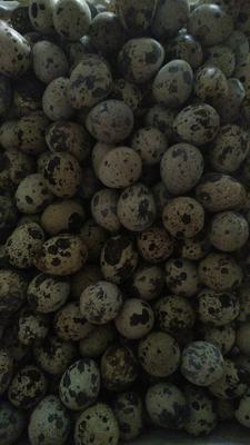 山西省晉中市榆次區白羽鵪鶉蛋