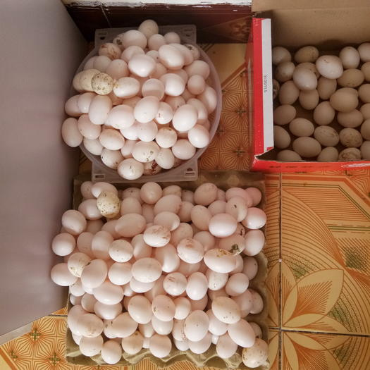 河北省沧州市河间市肉鸽蛋 新鲜鸽蛋