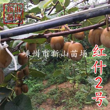 紅什2號紅肉獼猴桃苗嫁接苗晚紅臍紅紅心彌猴桃樹果苗南方種植