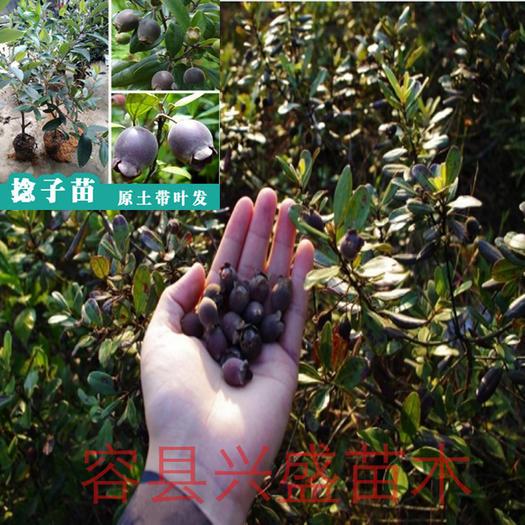 广西壮族自治区玉林市容县桃金娘苗 桃金娘树苗盆栽地栽均可带叶子发货