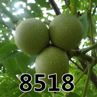 山东省临沂市平邑县 8518核桃苗 皮薄 一捏即开    好品种  可大规模种植