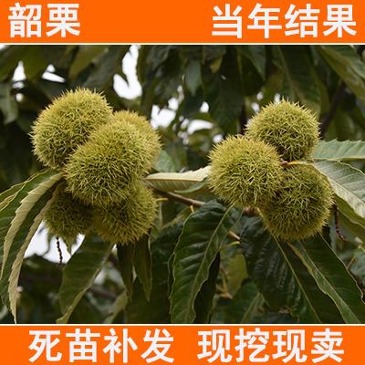山东省临沂市平邑县有机板栗 韶栗苗  最甜品种  板栗之精华  欢迎订购