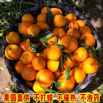 重慶奉節臍橙福本72-1倫晚新鮮水果現摘現發
