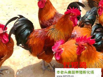 广西壮族自治区南宁市西乡塘区 红瑶鸡苗 45克102只一件 优质精选 运输包活