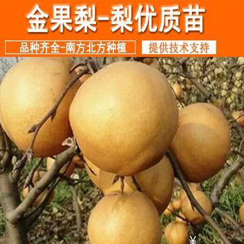 金果梨苗 包成活现挖现卖当年结果南北方种植 死苗免费补发