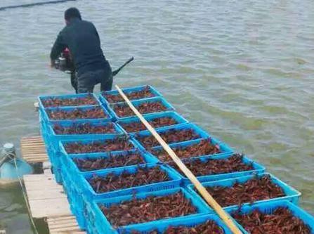 湖北省潛江市潛江市 長期供應龍蝦苗 青蝦苗 龍蝦價格 小龍蝦 龍蝦苗哪里有的 賣