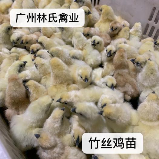 廣東省廣州市白云區 竹絲雞苗 白鳳烏雞苗 包打疫苗 包路損