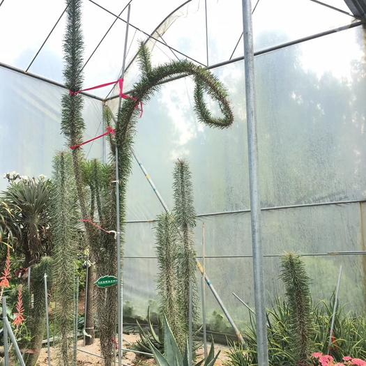 福建省漳州市龍海市 馬達加斯加龍 大型沙生多肉植物 龍樹科 仙人掌植物景觀