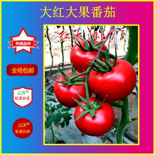 山東省濰坊市壽光市紅果番茄種子 乾德L77大紅番茄品種春秋茬精品果 抗線蟲能力強 熱銷