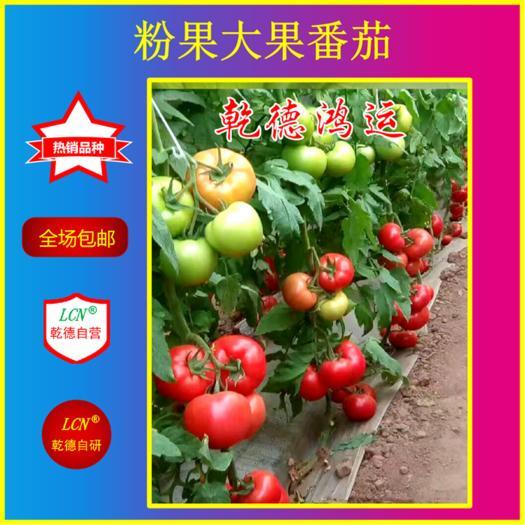 山東省濰坊市壽光市 乾德鴻運精品粉果番茄種子,早熟品種,抗病產量高抗線蟲