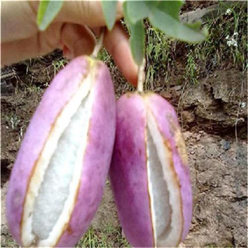 山东省济南市历城区 批发八月瓜苗 八月炸苗 土香蕉苗 易管理 养生水果苗