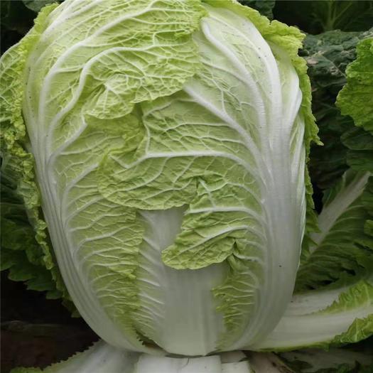 河南省商丘市夏邑县 优质绿色健康农产品新鲜  青杂三号白菜