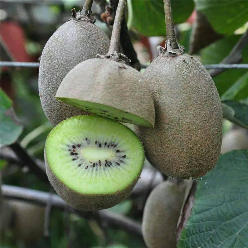 徐香獼猴桃苗  基地直銷  假一賠十 簽合同保證品種