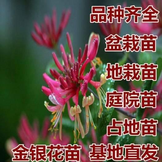 山东省临沂市平邑县 红金银花苗