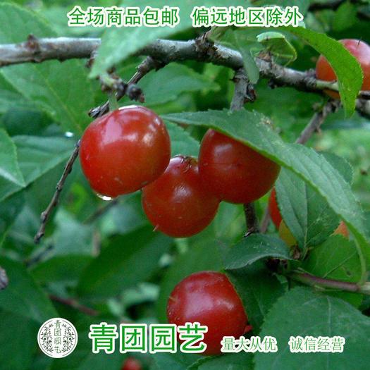 江苏省宿迁市沭阳县 钙果种子欧李种子钙果新种包邮