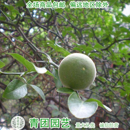 江苏省宿迁市沭阳县 枳壳种子枸橘种子包邮