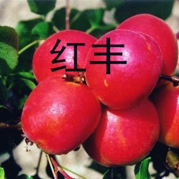 红丰杏树苗 五月中旬成熟 基地直销 可签合同
