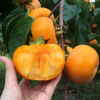 甜脆柿子苗  苗圃直销 保品种南北方均可种植免费提供技术指导