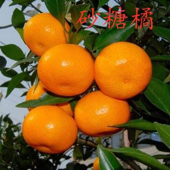 沙糖桔苗 砂糖橘 嫁接无籽砂糖橘 保品种 可盆栽地栽 包成活