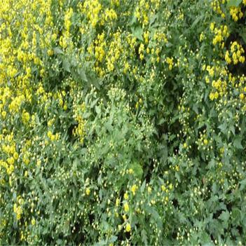 菊花脑苗 菊花脑种子 特菜菊花菜种子 多年生草本植物