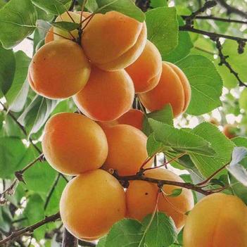 蜜香杏樹苗 正宗嫁接苗 適應性強 抗旱 極豐產 離核 肉質柔軟 味甜多汁