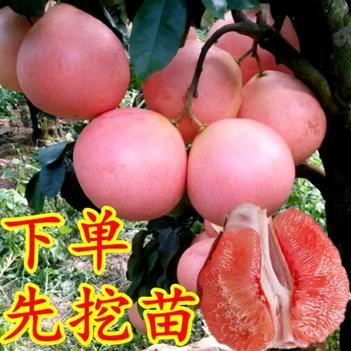 三紅蜜柚苗 正宗嫁接苗 果大皮薄 清甜微酸 果汁豐富 風味酸甜 品質上等