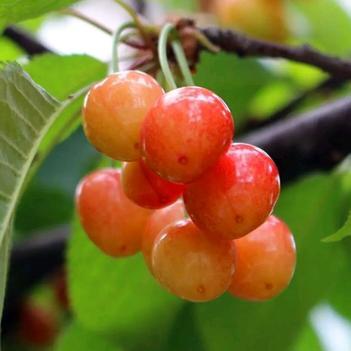 黃蜜櫻桃苗 正宗嫁接苗 豐產 果肉透亮 風味極佳 基地直銷 保證品種