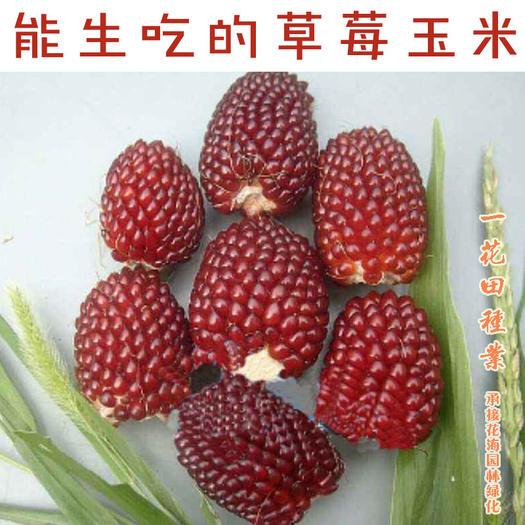 安徽省宿州市靈璧縣 草莓玉米種子玉米種子能生吃的玉米草莓玉米新種子包郵