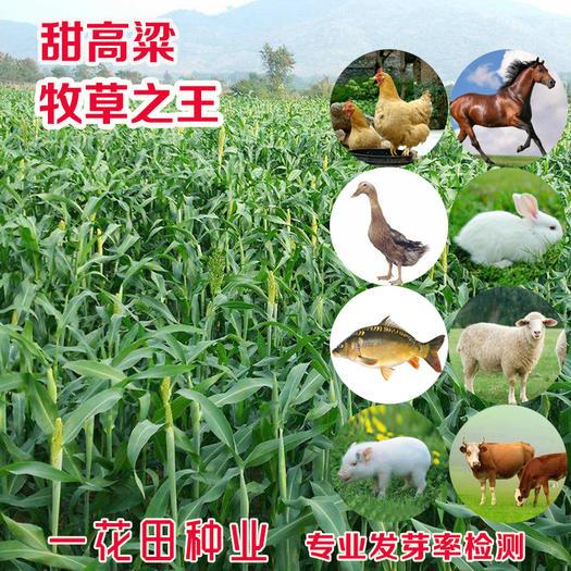 安徽省宿州市靈璧縣 甜高粱種子甜高粱新種子高產甜高粱種子